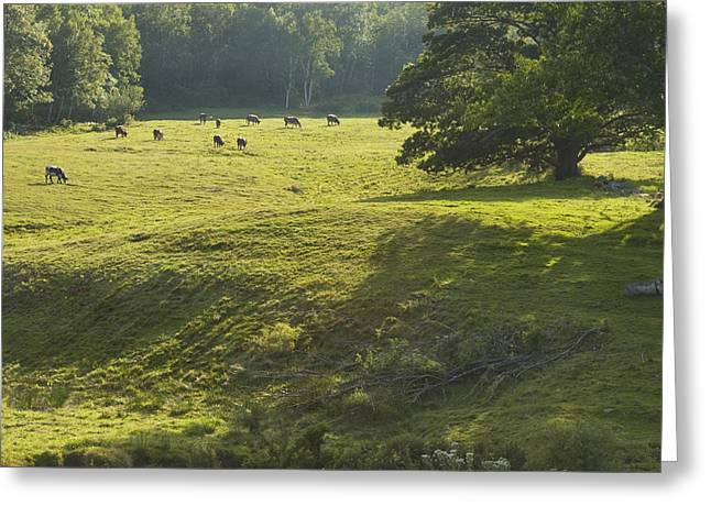 Rural Maine Greeting Cards - Cows Grazing On Grass In Rockport  Maine Greeting Card by Keith Webber Jr