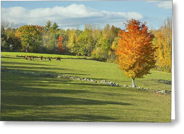 Grazing Animals Greeting Cards - Cows Grazing on Maine Farm Field in Fall  Greeting Card by Keith Webber Jr