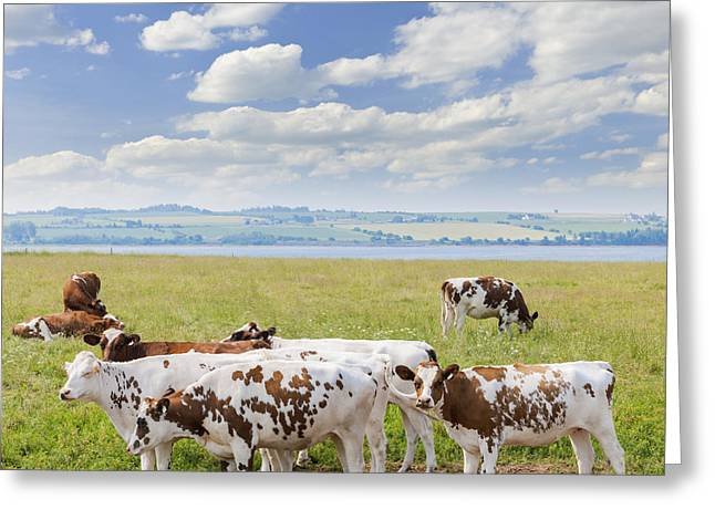 Ayrshire Greeting Cards - Cows in pasture Greeting Card by Elena Elisseeva
