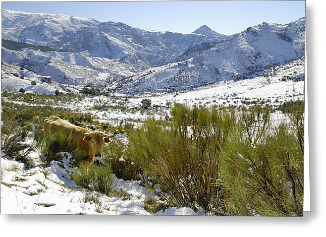 Spain Greeting Cards - Cows In The Mountains Greeting Card by Guido Montanes Castillo