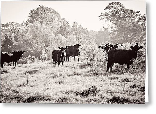 Angus Steer Photographs Greeting Cards - Cows Greeting Card by Karen Broemmelsick