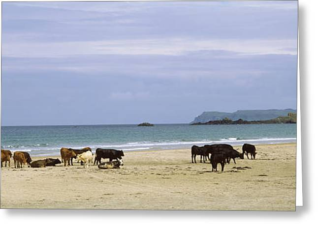 Cow Images Greeting Cards - Cows On The Beach, White Rocks Bay Greeting Card by Panoramic Images