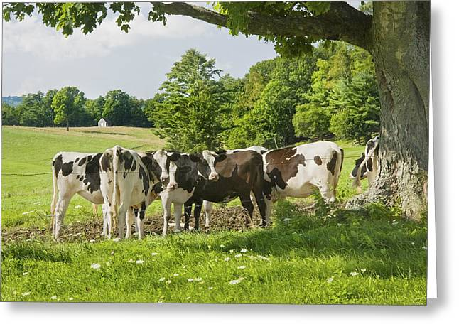 Maine Agriculture Greeting Cards - Cows Under Tree In Farm Field Summer Maine Photograph Greeting Card by Keith Webber Jr