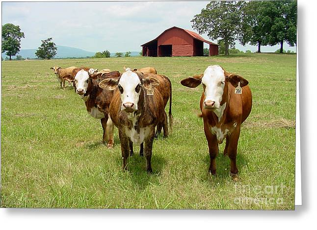 Gingrich Photo Greeting Cards - Cows8931 Greeting Card by Gary Gingrich Galleries