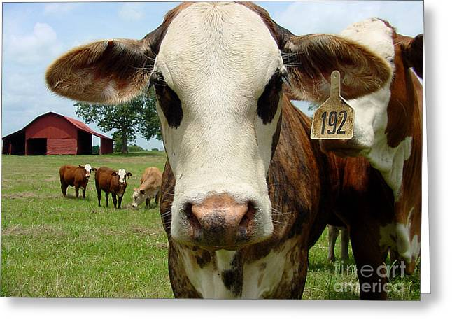 Gingrich Photo Greeting Cards - Cows8957 Greeting Card by Gary Gingrich Galleries