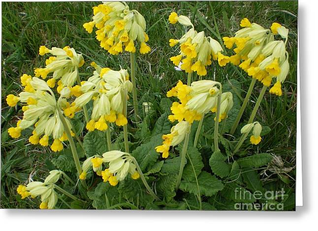 Cowslips Wildflowers. Greeting Card by Ann Fellows