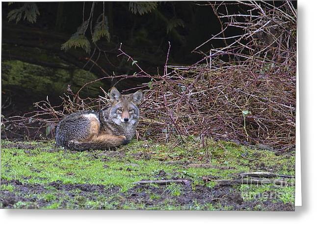 Brush Wolf Greeting Cards - Coyote Curled Up Greeting Card by Sharon  Talson