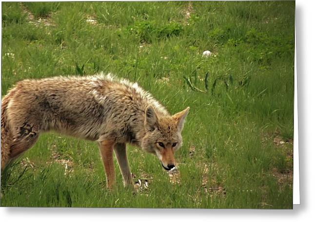 Wyoming Wildlife Greeting Cards - Coyote Greeting Card by Dan Sproul