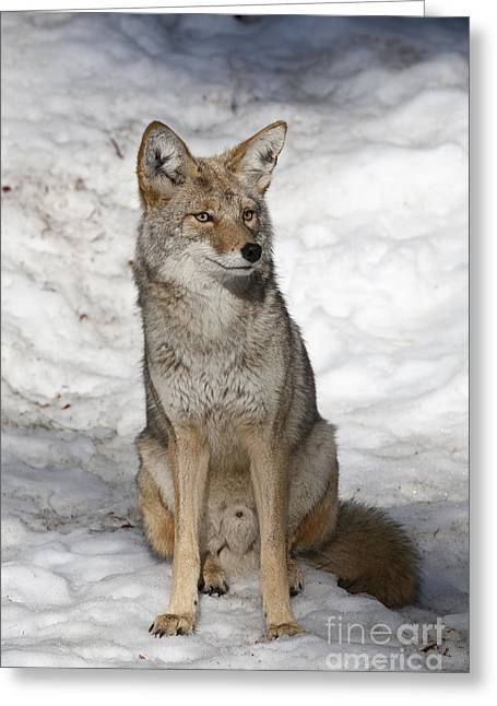 Ear Tags Greeting Cards - Coyote Greeting Card by Gregory G. Dimijian, M.D.