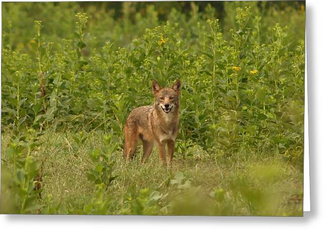 Brush Wolf Greeting Cards - Coyote Happy Greeting Card by Living Waters Photography