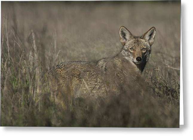 Military Might Greeting Cards - Coyote in Deep Grass Greeting Card by Randy Stiefer