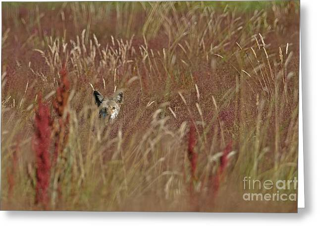 Brush Wolf Greeting Cards - Coyote in the Grass Greeting Card by Sharon  Talson