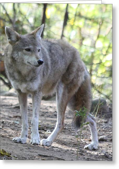 John Telfer Photography Greeting Cards - Coyote Greeting Card by John Telfer