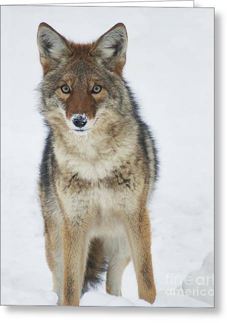 Dog In Snow Greeting Cards - Coyote Looking at Me Greeting Card by Stanza Widen