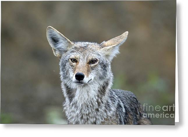 Coyote Greeting Card by Mark Newman