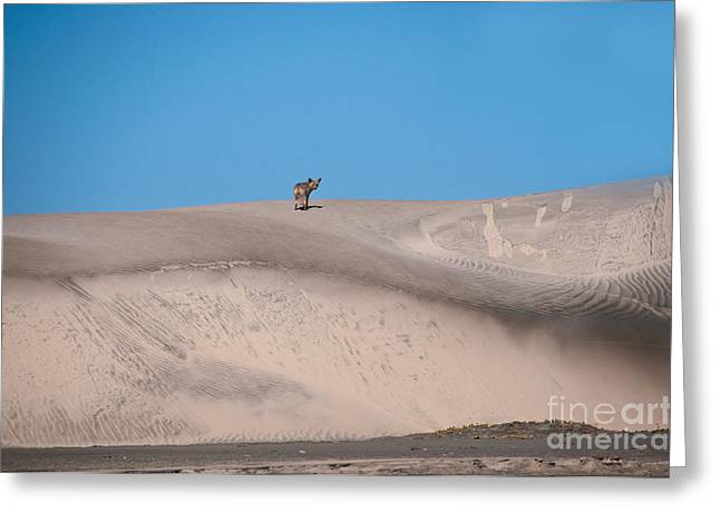 Sanddunes Greeting Cards - Coyote On Sand Dune Greeting Card by Mark Newman