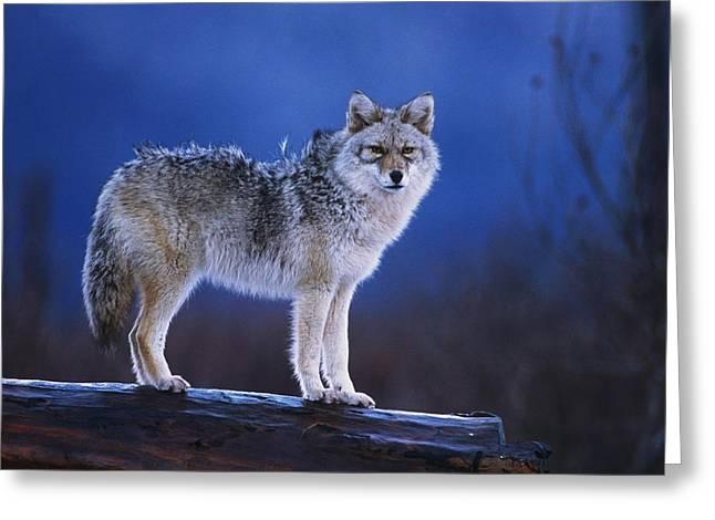 Coyote Standing On Log Alaska Wildlife Greeting Card by Doug Lindstrand