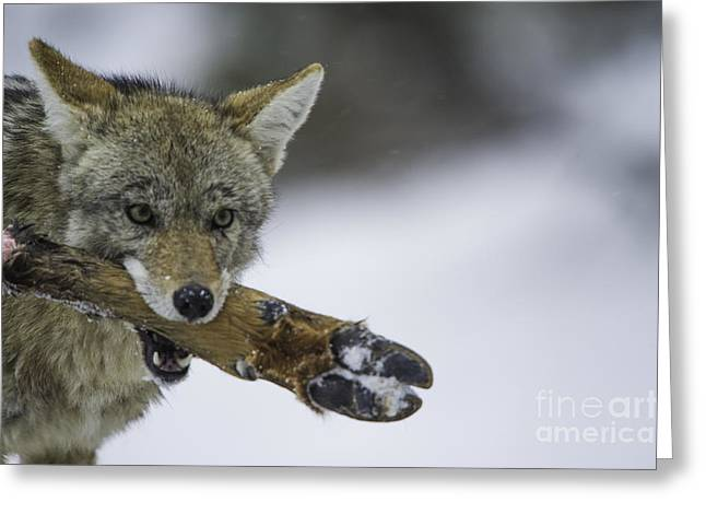 Yip Greeting Cards - Coyote with Elk leg Greeting Card by Frank Pali