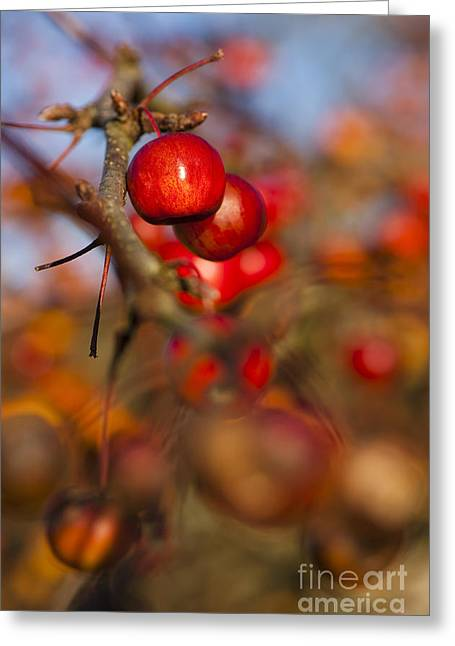 Crab Apple Greeting Cards - Crab Apple Bright Greeting Card by Anne Gilbert