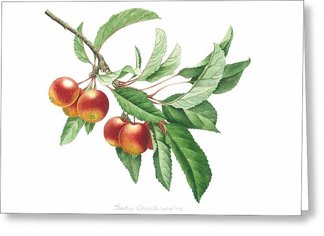 Fruit Tree Art Greeting Cards - Crab Apple Greeting Card by Sally Crosthwaite