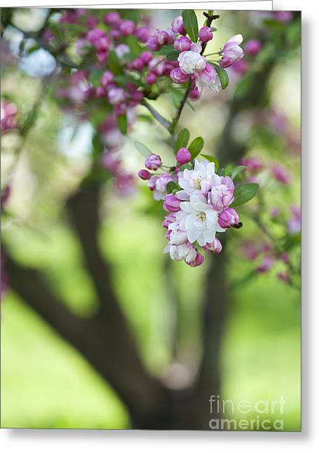 Snow Blossom Greeting Cards - Crab Apple Snow Cloud Tree Blossom Greeting Card by Tim Gainey