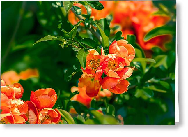 Fruit Tree Art Greeting Cards - Crab Apple Tree In Bloom 1 Greeting Card by Alexander Senin