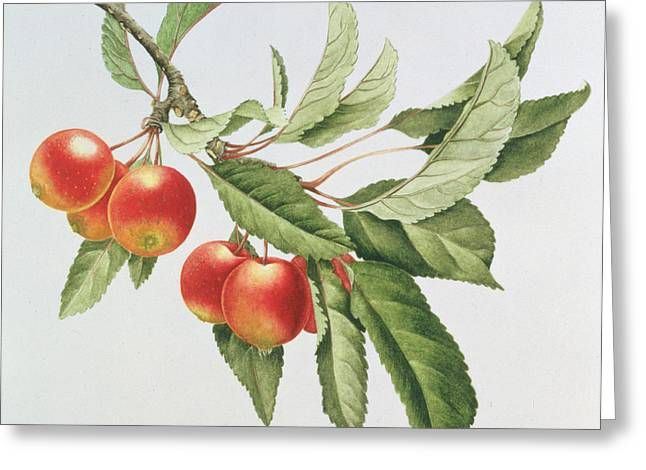 Berry Greeting Cards - Crab Apples Greeting Card by Sally Crosthwaite