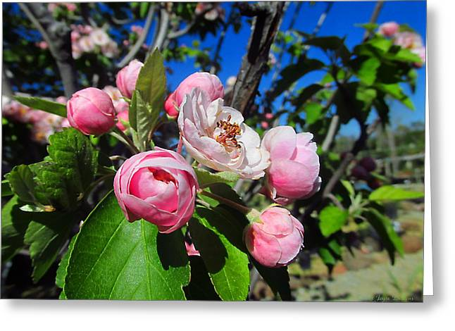 Crabapple Cards Greeting Cards - Crabapple Beauty Greeting Card by Joyce Dickens