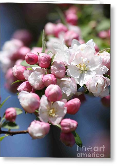 Crabapple Cards Greeting Cards - Crabapple Blossoms Greeting Card by Christina Gupfinger