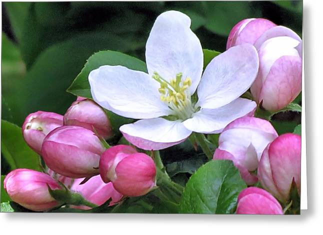 Crabapple Cards Greeting Cards - Crabapple Greeting Card by Janice Drew