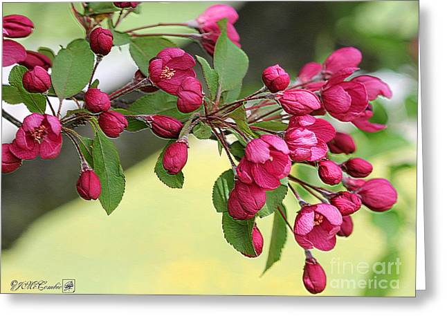 Flower Blossom Greeting Cards - Crabapple Tree named Prairiefire Greeting Card by J McCombie