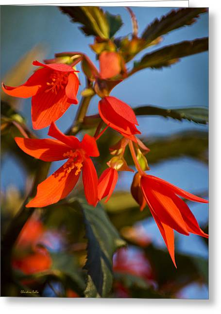 Begonia Garden Greeting Cards - Crackling Fire Begonia Greeting Card by Christina Rollo