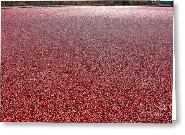 Bog Greeting Cards - Cranberries Greeting Card by Olivier Le Queinec