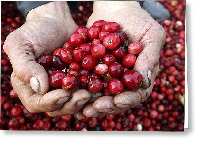 Farmers Field Greeting Cards - Cranberries Greeting Card by Science Photo Library
