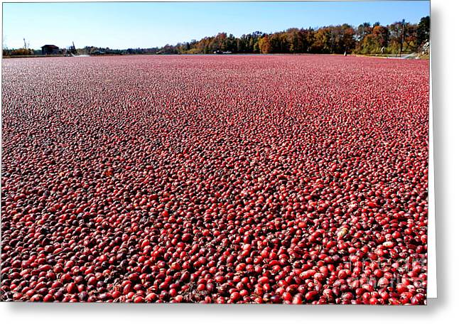 Cranberry Bog In New Jersey Greeting Card by Olivier Le Queinec