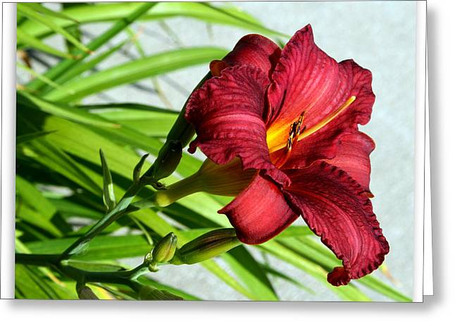 Kay Novy Greeting Cards - Cranberry Colored Lily Greeting Card by Kay Novy