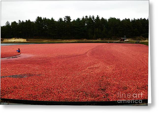 Newengland Greeting Cards - Cranberry Harvest 2 Greeting Card by Andrea Anderegg