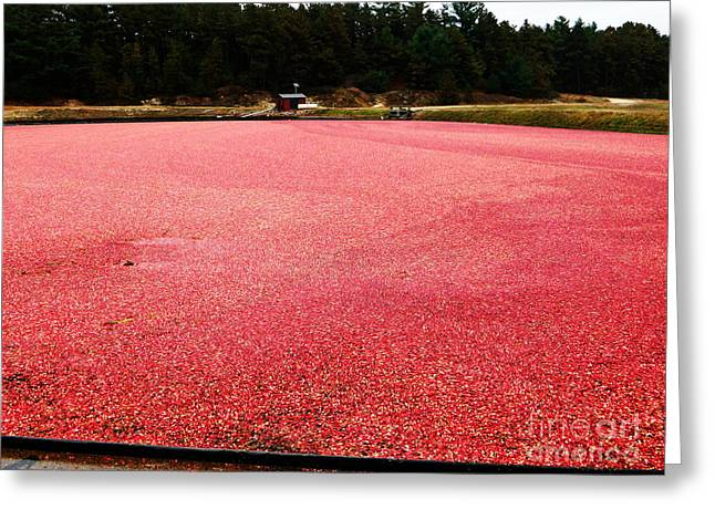 Newengland Greeting Cards - Cranberry Harvest 4 Greeting Card by Andrea Anderegg