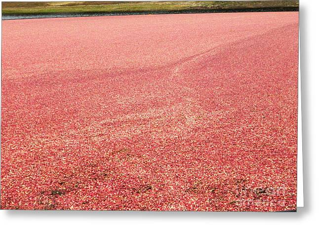Newengland Greeting Cards - Cranberry Harvest Greeting Card by Andrea Anderegg