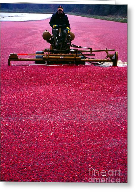 Fall Scenes Greeting Cards - Cranberry Harvest Greeting Card by Eva Kato