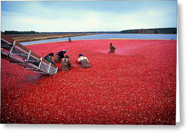 Conveyor Greeting Cards - Cranberry Harvest in New Jersey Greeting Card by Mountain Dreams