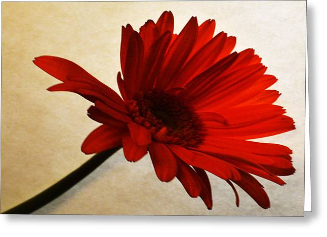 Sunburst Floral Still Life Greeting Cards - Cranberry Zinnia Greeting Card by Sherry Allen
