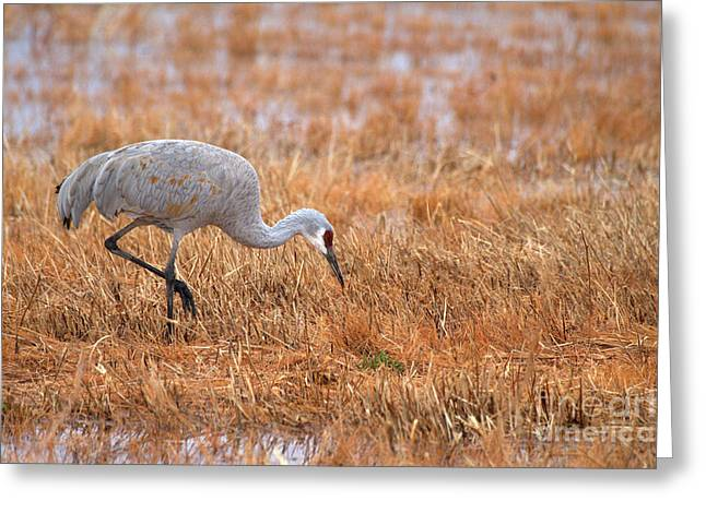 Ruth Jolly Greeting Cards - Crane in a golden field Greeting Card by Ruth Jolly