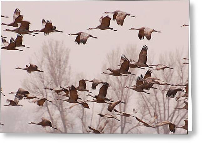 Cranes Across the Sky Greeting Card by Don Schwartz