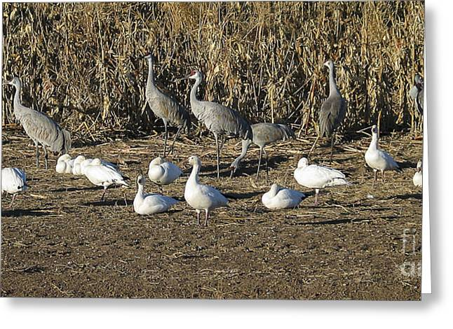 Steven Ralser Greeting Cards - Cranes and geese Greeting Card by Steven Ralser
