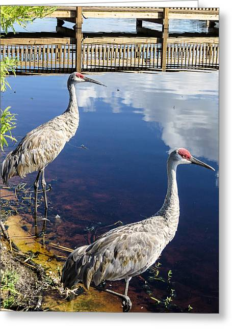 Sandhill Crane Greeting Cards - Cranes at the lake Greeting Card by Zina Stromberg