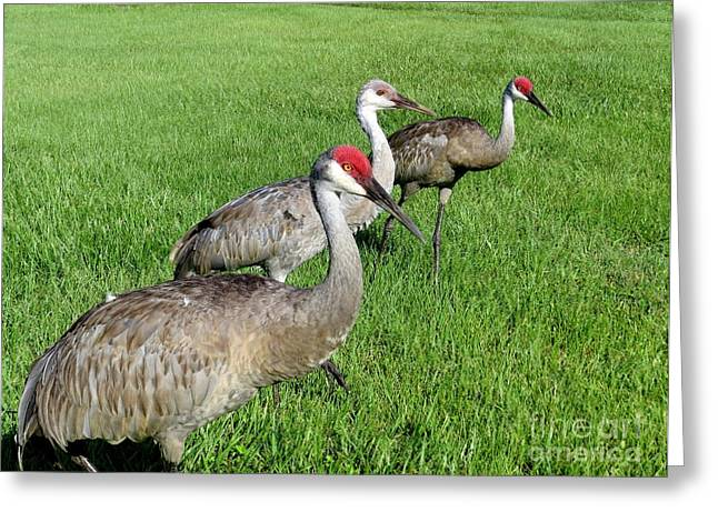 Sandhill Greeting Cards - Cranes family Greeting Card by Zina Stromberg