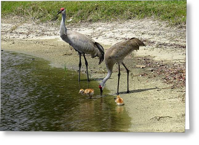 Cranes in the lake Greeting Card by Zina Stromberg