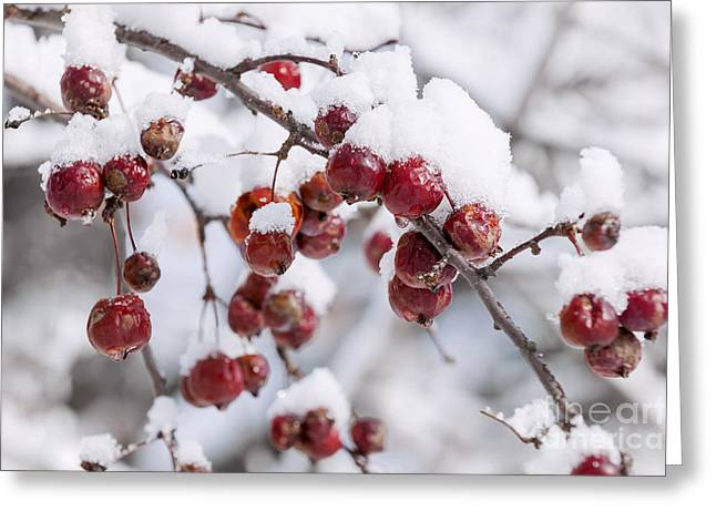 Crab Apples On Snowy Branch Greeting Card by Elena Elisseeva