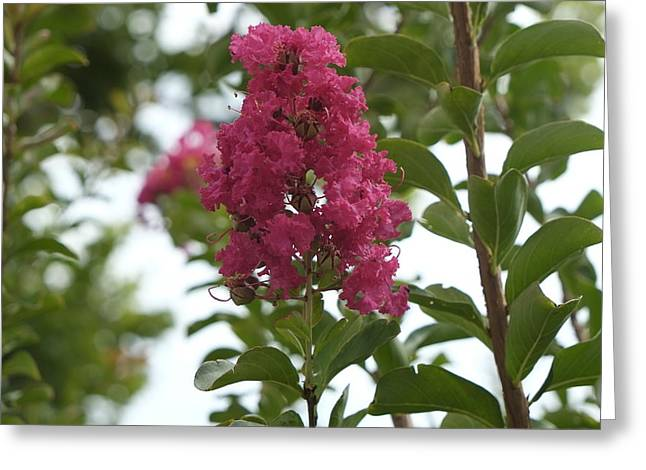 Crape Greeting Cards - Crape Myrtle Greeting Card by Louis Ferreira